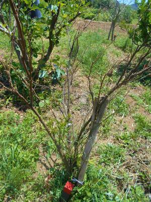 5.22寒波の被害を受けた柑橘に新たな芽1