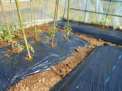 5.25ハウスに西瓜、トマト定植