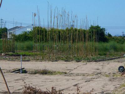 6.2長芋畑