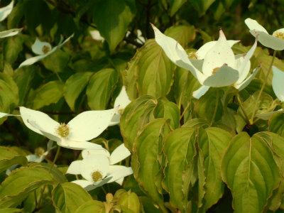 6.3山ぼうしの花