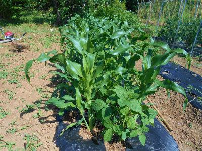 6.7トウモロコシと枝豆