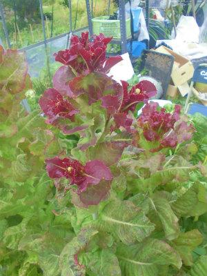 6.9採種予定のレタス1