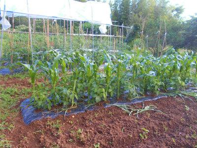 6.12トウモロコシと枝豆