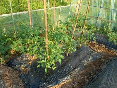 6.13ハウスのトマト