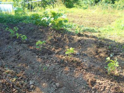 6.16黒千石豆追加定植