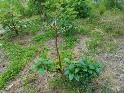 6.17復活した果樹1