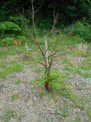 6.17復活した果樹2