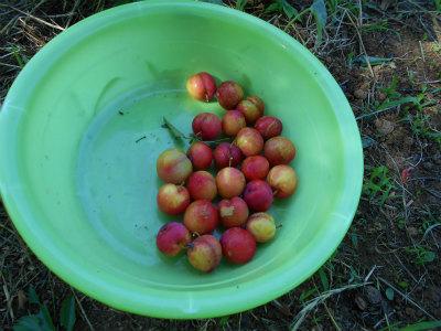6.22スモモ収穫