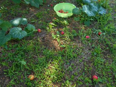 6.22スモモ収穫2