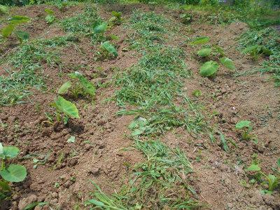 6.22里芋の草取り