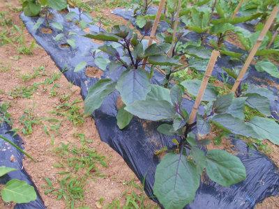 6.23泉州水茄子