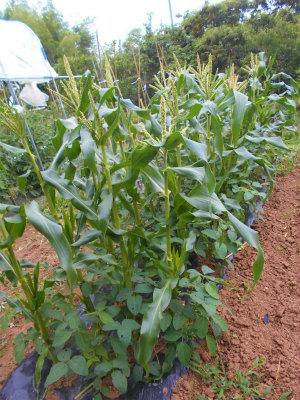 6.23トウモロコシと枝豆