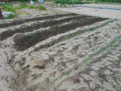 7.4一本ネギ追肥と土寄せ