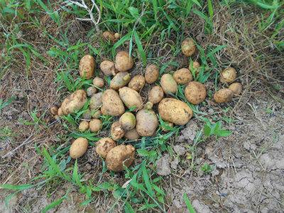 7.13移植したジャガイモ
