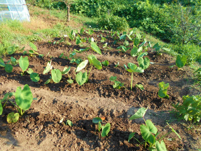 7.15里芋の草取り、追肥、土寄せ、散水