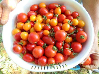 7.16収穫したトマト