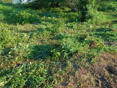 7.16早朝の草刈り1