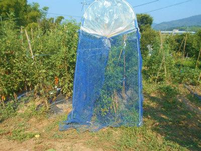 7.20トマトの網かけ