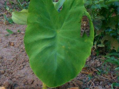 7.21里芋の葉に蝉