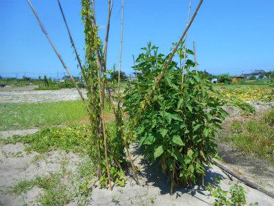 7.21安来の山芋と菊芋