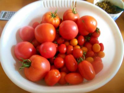 7.25収穫したトマト