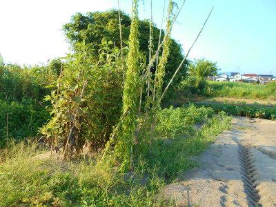 8.4安来の畑の菊芋と山芋