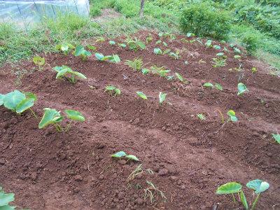 9.7里芋の土寄せ