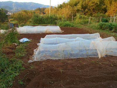 9.17定植6畝