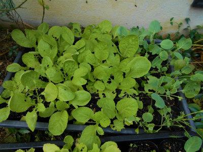 9.15白菜の苗
