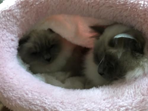 幸運を運ぶバーマン子猫🐱🐾ミカンちゃん&マシューくん