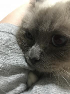 幸運を運ぶバーマン子猫🐱🐾 − チャズちゃん & マシューくん−