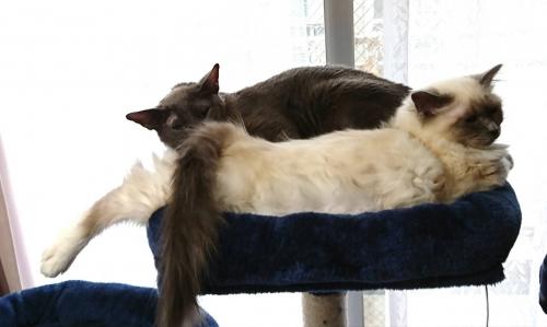 幸運を運ぶバーマン子猫✨ナユタちゃん🐱🐾