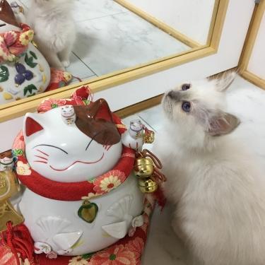 幸運を運ぶバーマン子猫🐱🐾ライラックポイント