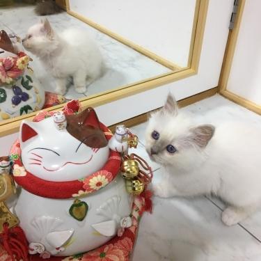 幸運を運ぶバーマン子猫🐱🐾ライラック ポイント