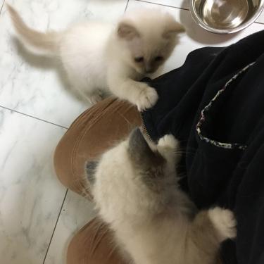 幸運を運ぶバーマン子猫🐱🐾ライラック & シール ポイント