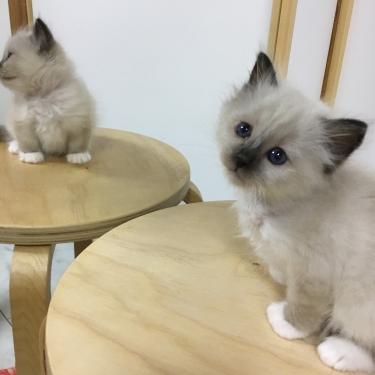 幸運を運ぶバーマン子猫🐱🐾シール ポイント