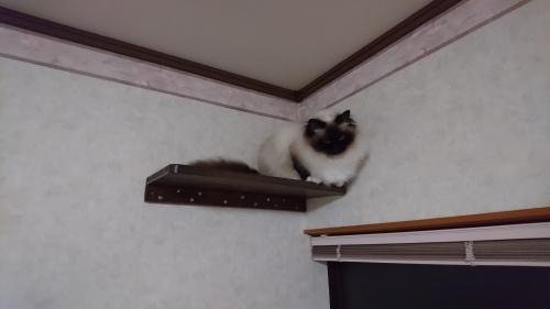 幸運を運ぶ猫☆バーマン - 武蔵くん -