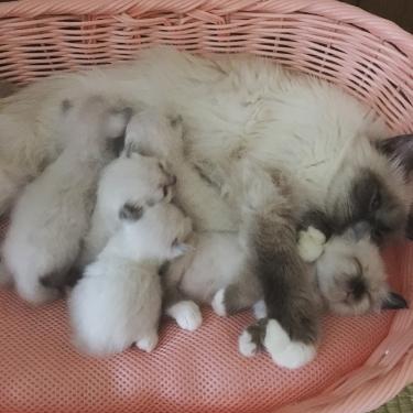 幸運を運ぶ🐱バーマン子猫 誕生