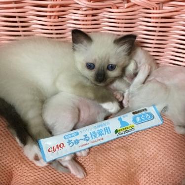 幸運を運ぶ🐱バーマン 子猫