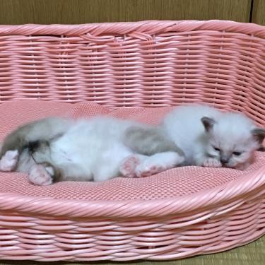 幸運を運ぶ🐱バーマン子猫 ー午後のお昼寝 シェスタ ー