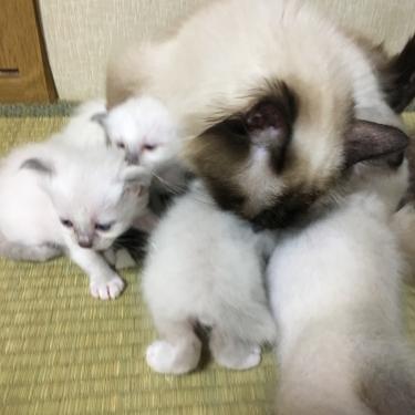 幸運を運ぶ🐱バーマン子猫ー授乳中ー