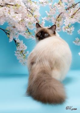 幸運を運ぶバーマン猫☆彡オーリン♂シールポイント