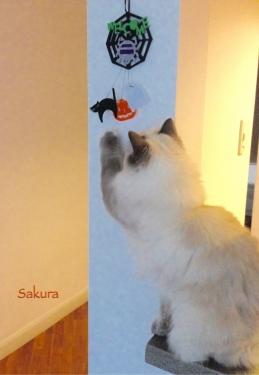 幸運を運ぶバーマン子猫🐱🐾カワイイ さくらちゃん