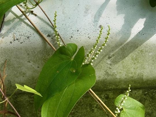 ヤマノイモ (2)