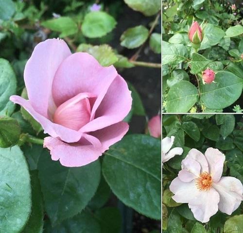 0502 バラのつぼみの色