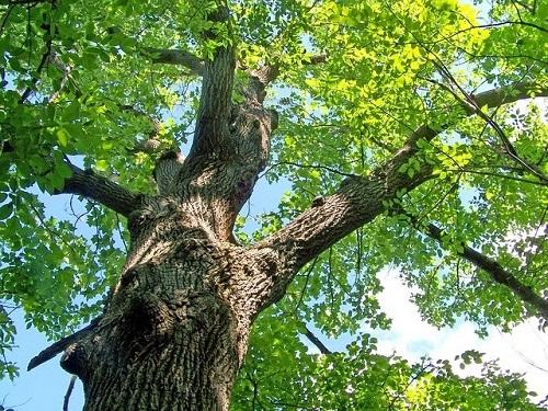 oak-500x.jpg