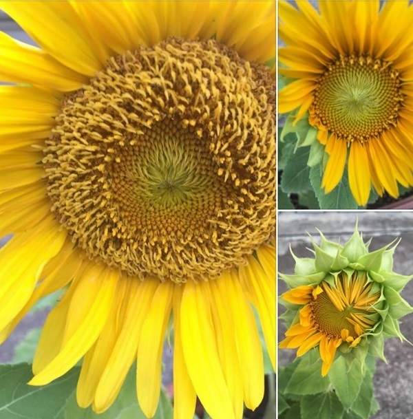 sunflower0711.jpg