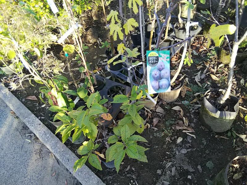 緑花木市場イチジク2018