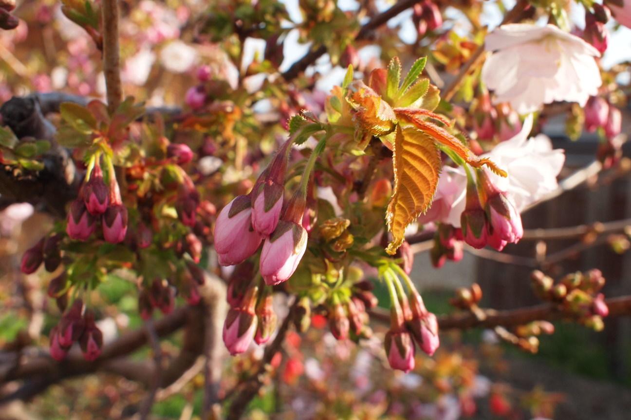 裏庭の八重桜つぼみ!