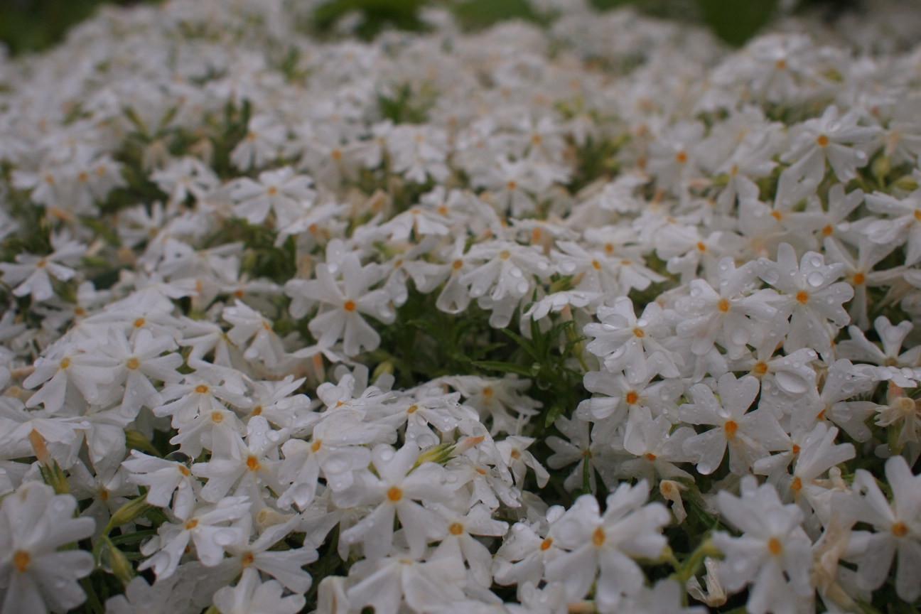 白い芝桜!